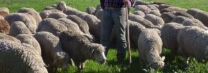 Elevage de moutons Mérinos à Arles
