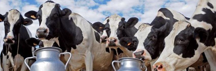 Des vaches de race Prim'Holstein
