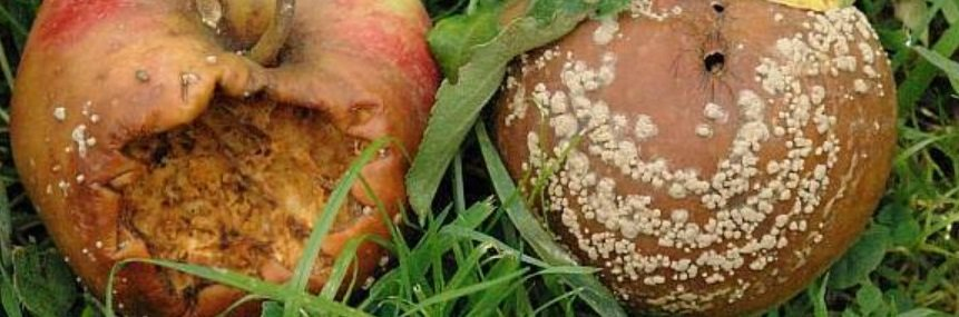 La maladie de conservation des pommes