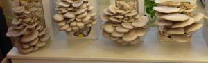 Des champignons sur marc de café