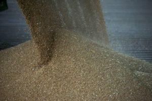Des grains de blé après la récolte