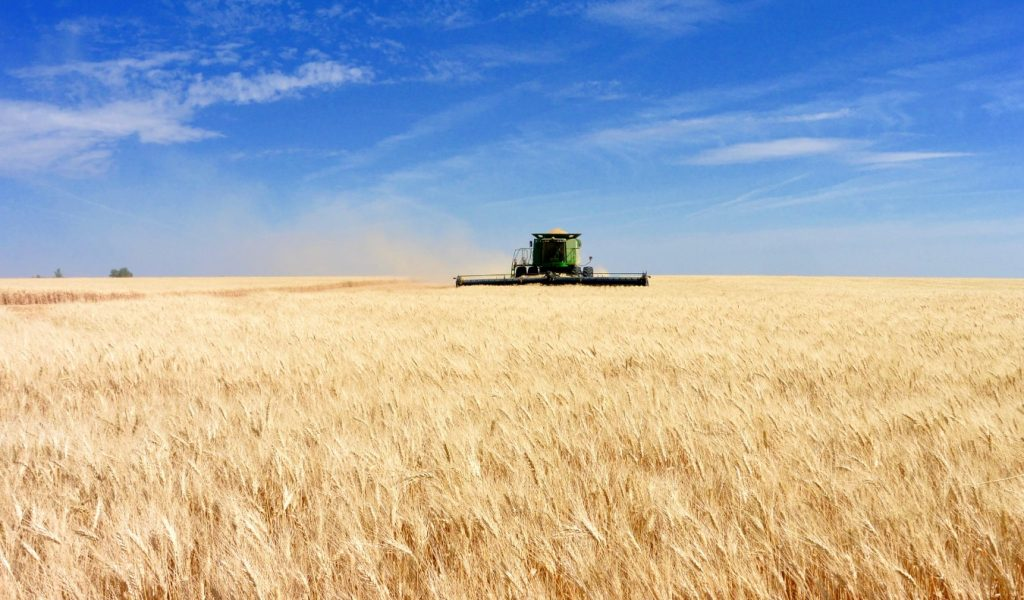 Champs de blé